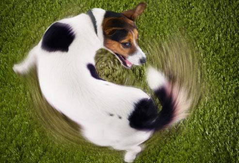 Socorro! Meu cão sofre de TOC?