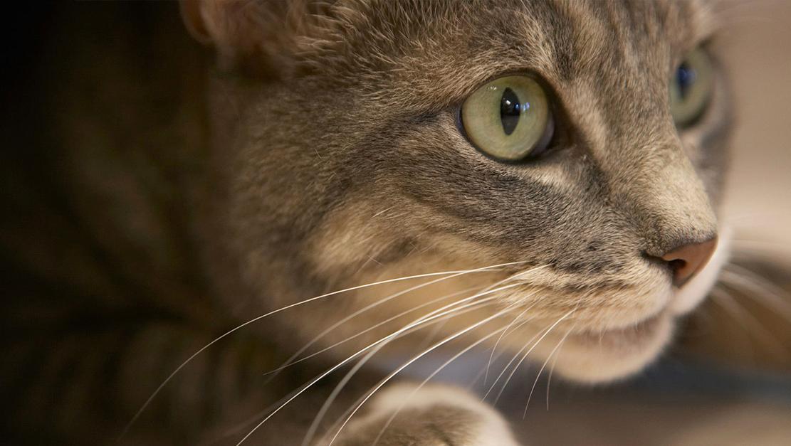 Por que a pupila do olho do gato muda de formato?