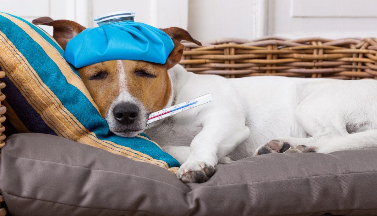 O que é tosse dos Canis ou Gripe dos Cães???
