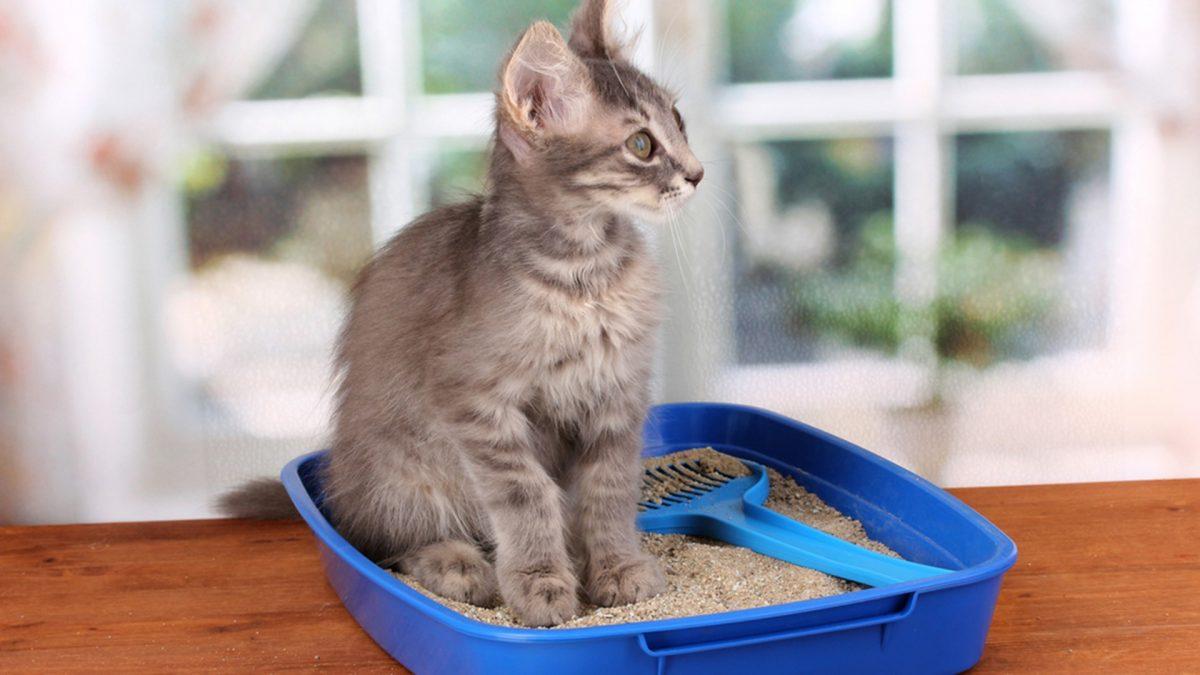 Atenção com a areia sanitária do seu gato